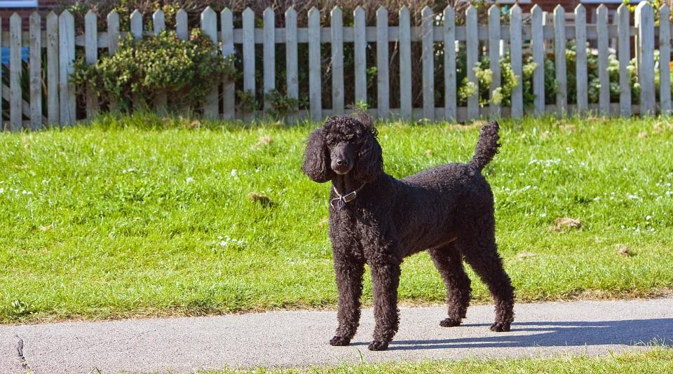 standard-poodle-163963_960_720
